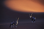 Oryx-Antelopes in front of red sand dune at Sossusvlei, Namib-Naukluft National Park, Namib Desert, Namibia