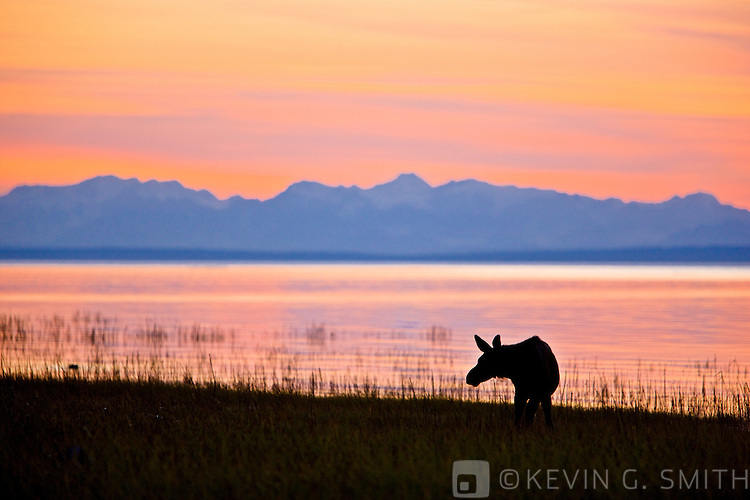 Moose  calf feeding along the Tony Knowles Coastal Trail at sunset, late summer, Anchorage, Southcentral Alaska, USA.