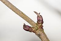 Schwarzer Holunder, Knospe, Knospen, Holunder, Sambucus nigra, Fliederbeeren, Fliederbeere, Common Elder, Elder, Elderberry, bud, buds, Sureau commun, Sureau noir