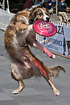 An athletic disc dog snatches a Frisbee from high in the air, Washington, USA