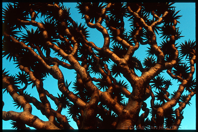 Sunset light falls on the branches of a Dragon's Blood Tree (Dracaena cinnabari) in the Skund mountains on the island of Socotra, Yemen on Wednesday, 25 May 2005.<br />