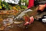 Fall rainbow trout.09 fall  rainbow trout