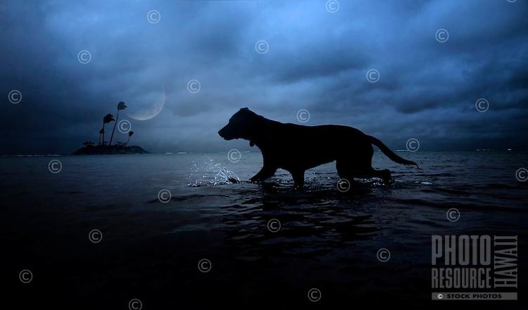 Moonlight splash: Rescue dog Isabella splashes in the ocean on a moonlit night, O'ahu.