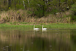 Trumpeter swans swimming in a wilderness lake in northern Wisconsin