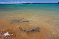 White-tipped Reef Sharks (Triaenodon obesus) foraging in the surf on Bartolome Island in the Galapagos Island Group, Ecuador. Pacific Ocean