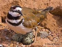 0510-1105  Killdeer, Adult Cooling Eggs in Hot Summer Sun by Shading the Eggs, Charadrius vociferus  © David Kuhn/Dwight Kuhn Photography