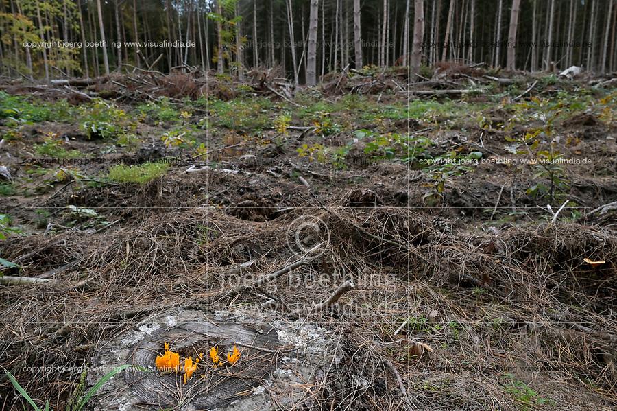 GERMANY, Mecklenburg, Forest, new plantation with oak trees, pine tree with Bark beetle infestation will be logged  / DEUTSCHLAND, Mecklenburg, Luebz, Kiefernwald, nach mehrjähriger Dürre sind viel Bäume geschwächt und anfällig für Sturmschäden und Baumschädlinge, Borkenkäfer befallene Kiefern werden geforstet und durch Eichen ersetzt