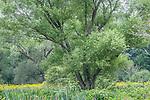 Willow at the Arnold Arboretum, Boston, Massachusetts, USA