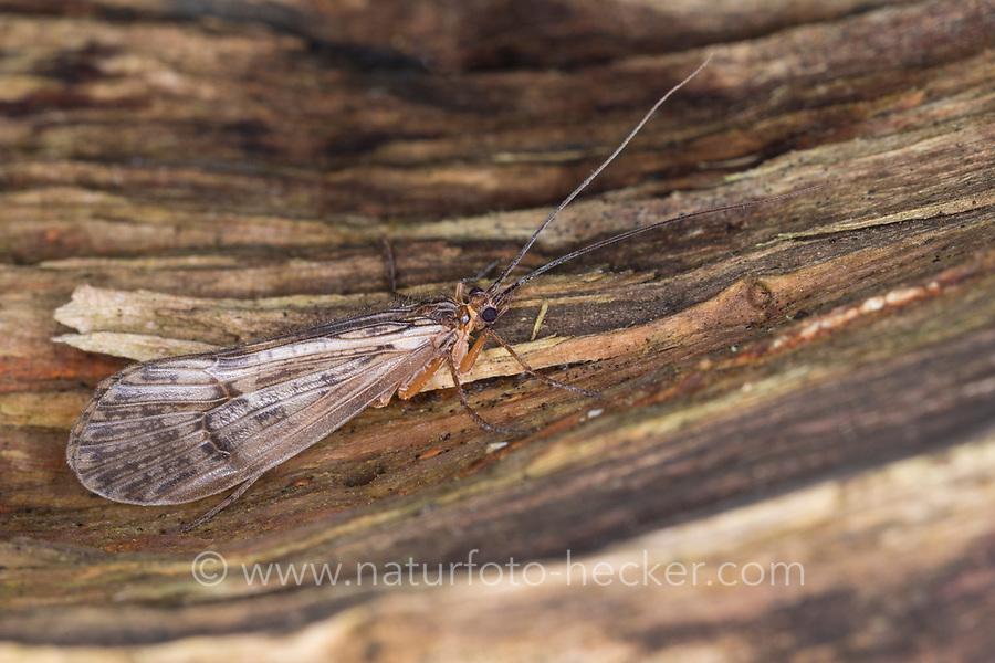 Köcherfliege, Halesus spec., caddis fly, caddisfly, caddy, sedge-fly, rail-fly, caddisflies, sedge-flies, rail-flies, Limnephilidae
