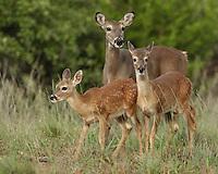 White-tailed Deer (Odocoileus virginianus) form close social bonds.