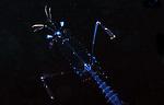 Mantis shrimp , Black Water diving; Gulfstream Current; South Florida