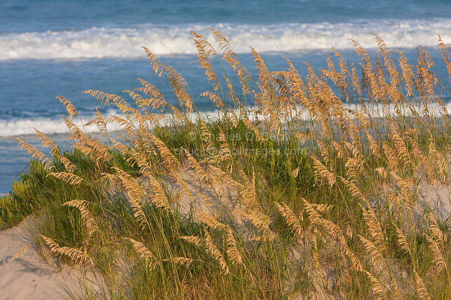 Sea Oats on Beach Sand Dune, Outer Banks, North Carolina.  Atlantic Ocean in Background.