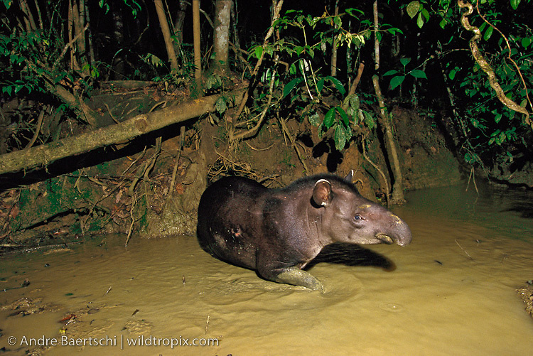 Brazilian Tapir (Tapirus terrestris) at a clay lick at night in lowland tropical rainforest, Manu National Park, Madre de Dios, Peru.