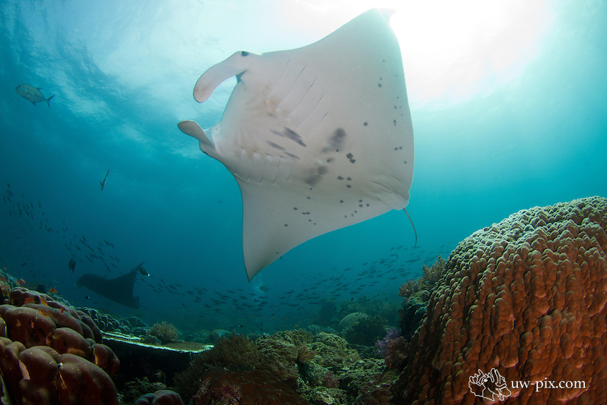 Manta ray, Manta alfredi, former birostris at a cleaning station in Raja Ampat - south Misool. <br /> Previously, the genus Manta was considered monotypic by most authors. The genus was recently re-evaluated and split into two species, the Reef Manta Ray (Manta alfredi) and the Giant Manta Ray (Manta birostris). Genetic evidence further confirms the existence of two separate species. Both species have worldwide distributions. Manta species are sympatric in some locations and allopatric in other regions.<br /> Reports are often mixed as the splitting of the genus occurred very recently (2009). Historical reports can often be confusing as well without adequate descriptions or photographs. Care should be taken when using reports or accounts of the Giant Manta Ray that they are not referring to the Reef Manta Ray (or vice versa).<br /> <br /> Melanistic (black) and leucistic (white) colour morphs occur in both species of Manta. Variant colour morphs often contributed an added degree of confusion when attempting to discriminate between species of Manta in the field or in photographs, especially when close examination was not possible. It should be noted that these colour morphs could be a possible source of error, resulting in mis-identifications in future studies or surveys of distribution.<br /> <br /> At this dive site in Raja Ampat / south Misool sometimes divers can observe both species together.