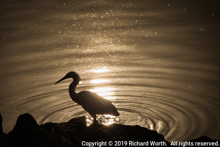 A Snowy egret stands in silhouette, lit by the sun's reflection along the rocky shore at San Leandro Marina on San Francisco Bay.