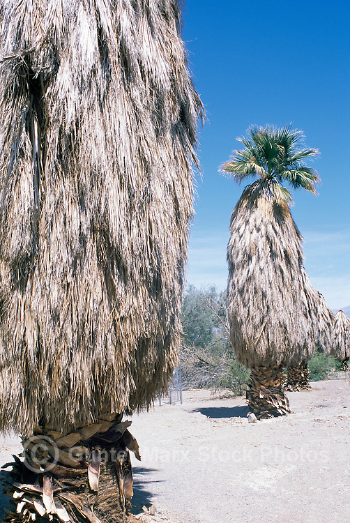 Death Valley National Park, California, CA, USA - Palm Trees (Arecaceae or Palmae) at Furnace Creek