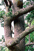 Garry Oak Tree (Quercus garryana) in Beacon Hill Park, Victoria, BC, British Columbia, Canada - aka White Oak, Post Oak, Oregon Oak, Brewer Oak, or Shin Oak