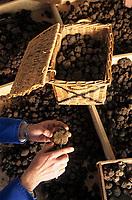 Europe/France/Midi-Pyrénées/46/Lot/Vallée du Lot/Cahors: Entreprise Pebeyre - Nettoyage des truffes