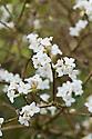 Fragrant white flowers of the evergreen shrub Daphne bholua 'Alba', late February.