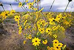 Common sunflower, Great Sand Dunes National Park, Colorado