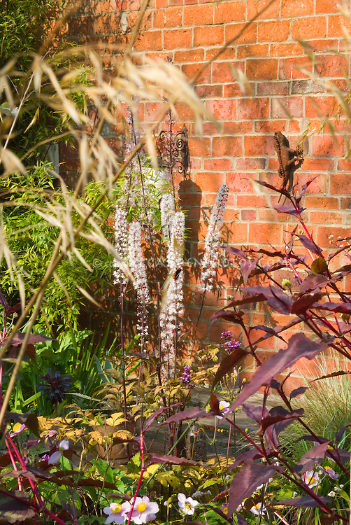 Actaea simplex Atropurpurea Group in bloom with Anemone, ornamental grass, Persicaria in autumn garden with brick wall of house