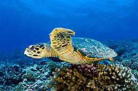 hawksbill sea turtle, Eretmochelys imbricata, juvenile, Tiputa Pass, Rangiroa, French Polynesia, Pacific Ocean
