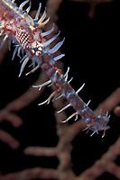Ornate ghost pipefish, Solenostomus paradoxus, Walindi, West New Britain, Papua New Guinea, Pacific Ocean