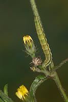 Karden-Sonneneule, Kardeneule, Kardensonneneule, Raupe frisst an Bitterkraut, Heliothis viriplaca, Heliothis dipsacea, marbled clover, caterpillar. Eulenfalter, Noctuidae, noctuid moths, noctuid moth