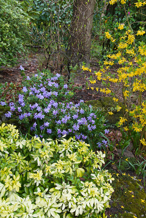 Rhododendron blue flowers, forsythia in spring bloom with Choisya Sundance shrub for a fresh spring blooming garden scene