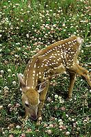 MA11-010z   White-tailed Deer - fawn - Odocoileus virginianus