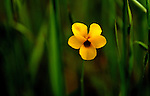 Buttercup growing in tall spring grass near Santa Margarita Crags, Santa Margarita Lake, Highway 58 and Carissa Plains National Monument, CA