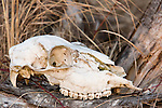 White-tailed deer skull