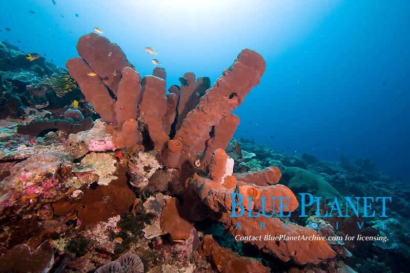 Theonella cylindrica sponge, Wakatobi, Indonesia, Pacific Ocean