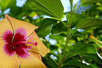 Hibiscus flower, Hibiscus brackenridgei,, Kailua Kona, Big Island, Hawaii, USA, Pacific Ocean
