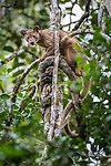 Male fosa (Cryptoprocta ferox) (sometimes incorrectly Fossa) stalking lemurs in forest canopy. Mid-alitude rainforest, Andasibe-Mantadia National Park, eastern Madagascar. IUCN Endangered.