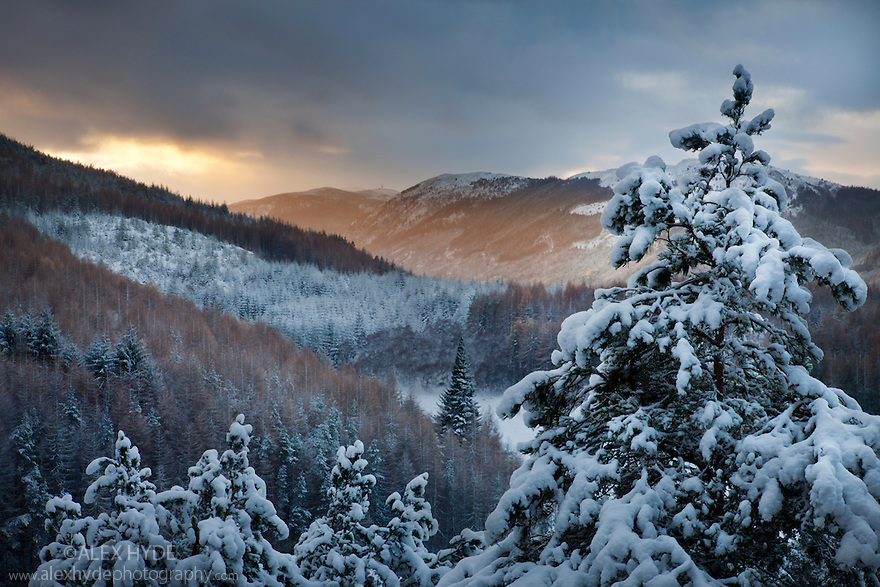 Pines laden with snow, Foyes, Inverness-shire, Scotland, UK, November.