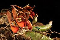 A Euglossa despecta bee on a Gongora powellii orchid.///Une abeille Euglossa despecta sur une orchidée Gongora powellii.