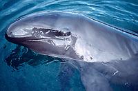 false killer whale, Pseudorca crassidens (c), Oahu, Hawaii, Pacific Ocean