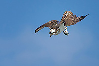 Osprey begins dive to catch a fish.
