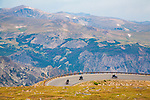 motorcycles travel the beartooth highway through mountains along the montana wyoming border