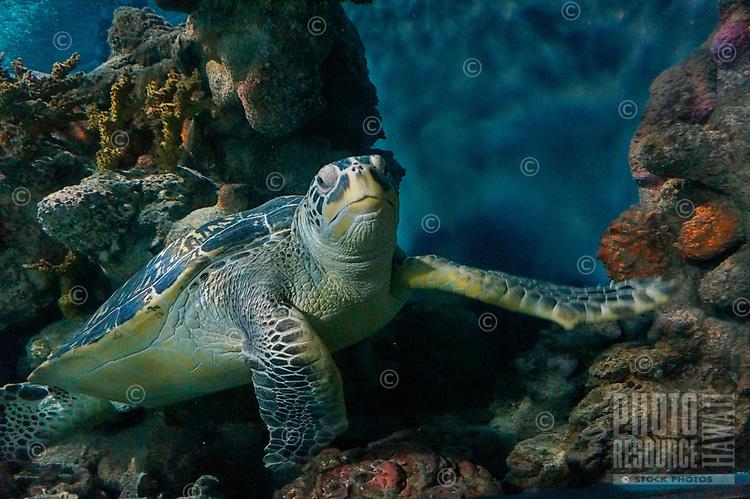 An underwater view of a honu (Hawaiian green sea turtle) swimming along a reef in Hawaiian waters.