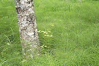 Trunk of red alder growing from field of common horsetail, Longmire, Mount Rainier National Park, Washington, USA<br />