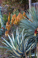 Agave americana mediopicta alba, Tuxedo Agave, variegated foliage succulent in Gerhard Bock garden with flowering Aloe 'Moonglow,