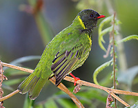 Green-and-black fruiteater male