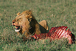Male lion lays next to a carcass in the Serengeti............................................................................................................................................................................................................................................................................................................................................................................................................................................................................................................................................................................................................................................................................................................................................................................................