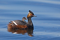 Eared Grebe swimming on a lake with one of its' young on its' back