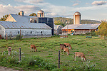 Jersey calves in Cambridge, VT, USA
