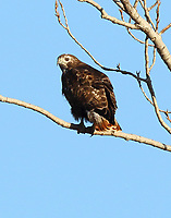 Harlan's form of red-tailed hawk