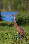 Sandhill crane in northern Wisconsin.