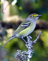 Adult white-eyed vireo in fall migration